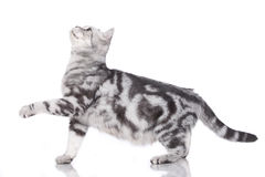 British short hair cat standing sideways Stock Image