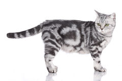 British short hair cat standing sideways. Looking backwards Stock Photography