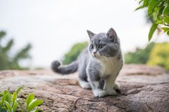 British short hair cat, on stone Stock Photos