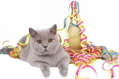 British short hair cat between streamers Royalty Free Stock Images