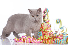 British short hair cat between streamers Royalty Free Stock Photos