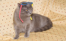 British short-hair cat with sunglasses in the head royalty free stock photography