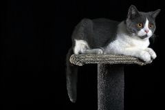 BRITISH SHORT HAIR CAT. White and grey British short hair cat laying down on his scratching pole Stock Photos