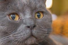 British short hair cat yellow eyes starring Stock Photo