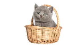 British short-hair kitten Stock Photos