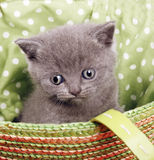 British short hair kitten Stock Photos
