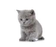 British short hair kitten Stock Photos