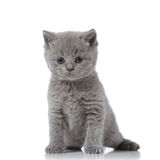 British short hair kitten Stock Images