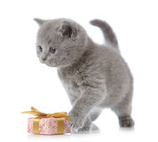 British short hair kitten Royalty Free Stock Photography
