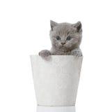British short hair kitten Royalty Free Stock Photo