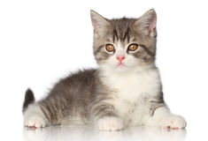 British short hair kitten Royalty Free Stock Photo