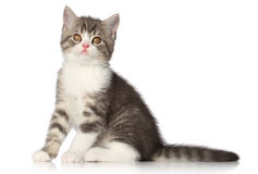 British short hair kitten Stock Photo