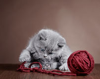 British short hair Kitten and ball of yarn Royalty Free Stock Photography
