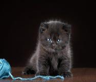 British short hair Kitten and ball of yarn Royalty Free Stock Photos