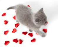 British short hair kitten and decorative hearts Royalty Free Stock Photo