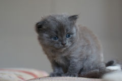British short hair kitten Royalty Free Stock Images