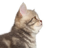 British short hair kitten profile portrait Stock Images