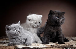 British short hair kittens Royalty Free Stock Photo