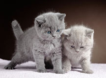 British short hair kittens Royalty Free Stock Photos