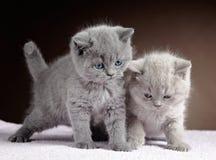 British short hair kittens Royalty Free Stock Photos