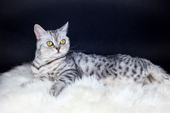 British short hair silver tabby cat lying on sheepskin Stock Photos