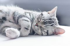 British short hair silver tabby cat sleeping royalty free stock images