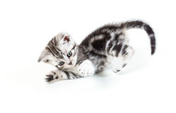 British short hair silver tabby kitten hunting isolated on white background Stock Images