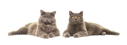 British short haired and british long haired cat both lying down Royalty Free Stock Image