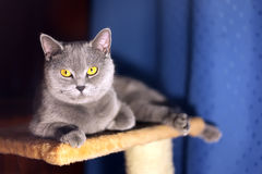 British short-haired cat. Portrait of british short-haired cat royalty free stock photography