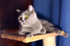 British short-haired cat. Portrait of british short-haired cat royalty free stock images