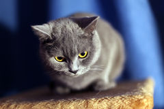 British short-haired cat. Portrait of british short-haired cat royalty free stock image