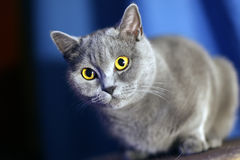 British short-haired cat. Portrait of british short-haired cat stock photography