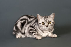British short-haired cat Royalty Free Stock Image