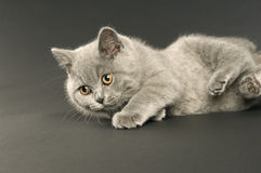British short haired grey cat Royalty Free Stock Photo
