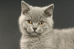 British short haired grey cat Royalty Free Stock Image