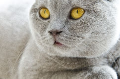 British Shortahir Lilac Cat Stock Image