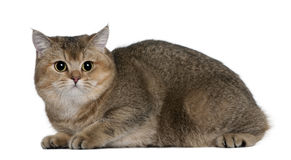 British Shorthair (10 months old) Royalty Free Stock Photo