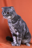 British shorthair Stock Photos