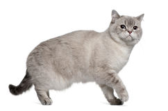 British Shorthair (15 months old) Royalty Free Stock Photos