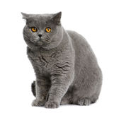 British shorthair (15 months old) Stock Photo