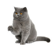 British shorthair (15 months old) Royalty Free Stock Photo