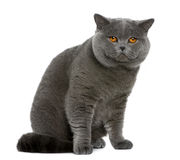 British shorthair (2 years old). In front of a white background Stock Photography