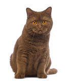 British Shorthair, 20 months old, sitting and looking at the camera Stock Photo
