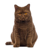 British Shorthair, 20 months old, sitting and looking at the camera Royalty Free Stock Photos