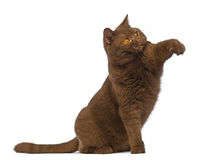 British Shorthair, 20 months old, sitting and reaching with its paw Royalty Free Stock Images