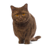 British Shorthair, 20 months old, standing and looking at the camera Royalty Free Stock Image