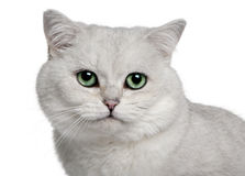 British Shorthair (5 years old) Royalty Free Stock Photos