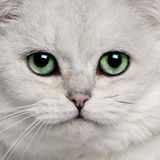 British Shorthair (5 years old) Royalty Free Stock Photo