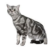 British Shorthair (9 months old) Royalty Free Stock Photos