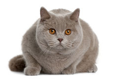 British shorthair (9 months old) Stock Photography